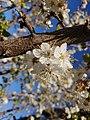 Flores de ciruelo, Amelaco.jpg
