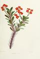 Flower-euphorbia-bojeri.png