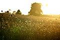 Flowers in sunset in Massachusetts.jpg