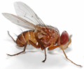 Fly - Muscidae (compact).png