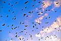 Flying Foxes in the Sky.jpg