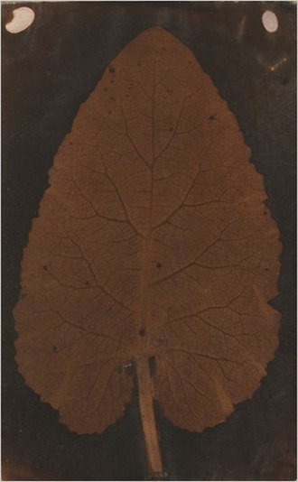 Thomas Wedgwood (photographer) - Salted paper photogram of a leaf, circa 1839. A speculative attribution to Wedgwood in 2008 was later retired.