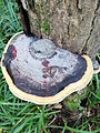 Fomitopsis pinicola 95535771.jpg