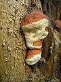 Fomitopsis pinicola bialowieza forest beentree.jpg