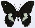 Forest Giant (Papilio gambrisius) (8421165418).jpg