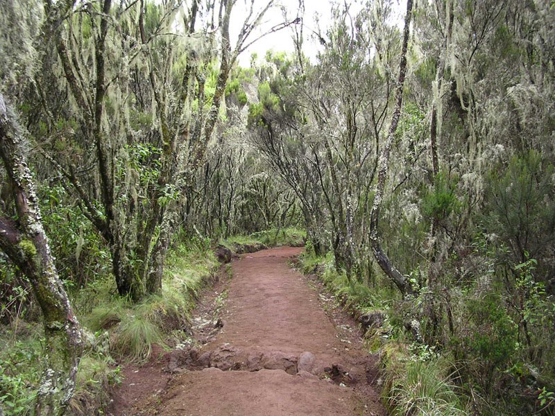 Forest in Marangu route in Kilimanjaro area 001