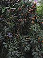 Fortunella japonica - JBM.jpg