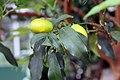 Fortunella margarita 6zz.jpg
