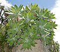 Fox Tail Agave (Agave attenuata) (35714046936).jpg