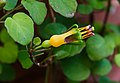 Fuchsia procumbens.jpg