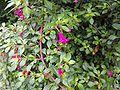 Fuchsiathymifolia.jpg