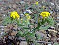 Fujeirah north 1501200713068 Arnebia hispidissima.jpg