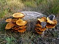Fungi growing on a pine stump, Frame Heath Inclosure, New Forest - geograph.org.uk - 261258.jpg