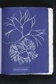 Furcellaria fastigiata (NYPL b11861683-419636).tiff