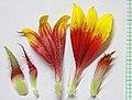 Gaillardia flower parts - Flickr - andrey zharkikh.jpg