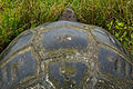 Galápagos tortoise (4228289321).jpg