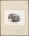 Galago senegalensis - 1851-1876 - Print - Iconographia Zoologica - Special Collections University of Amsterdam - UBA01 IZ19700157.tif