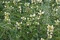 Galeopsis speciosa Kirjopillike C IMG 0436.JPG