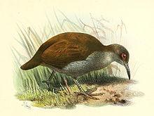 新喀里多尼亚秧鸡