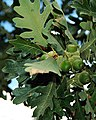 Gambel oak leaves.jpg