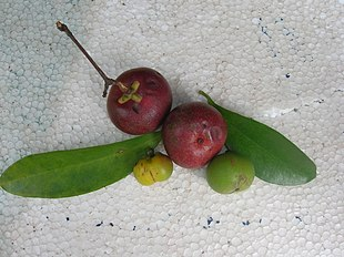 Garcinia indica leaves, raw and ripe fruits.jpg