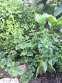 Garden of herbs.jpg