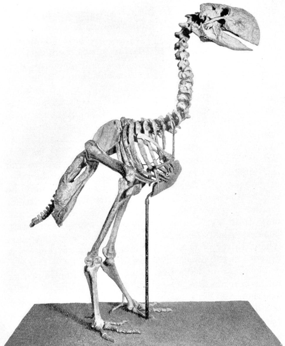 Gastornis skeleton