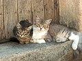 Gattini calabresi - panoramio.jpg