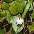 Gaultheria adenothrix (flower s2).jpg