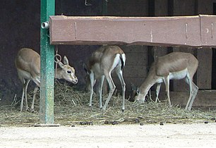 Gazella subgutturosa group (cropped).JPG