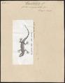 Gecko verruculatus - 1700-1880 - Print - Iconographia Zoologica - Special Collections University of Amsterdam - UBA01 IZ12300079.tif
