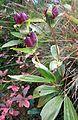 Gentiana purpurea gaustad IMG 0416.JPG