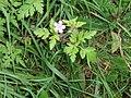 Geranium robertianum L. (AM AK318206).jpg