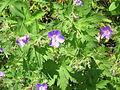 Geranium sylvaticum002.jpg