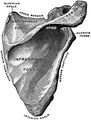 Gerrish's Text-book of Anatomy (1902) - Fig. 162.png