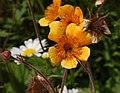 Geum 'Beech House' Flower 2594px.jpg
