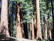 A grouping of massive trees, seen from ground level. Wiry green branches dangle from the unseen tops of the trees, whose slender but exceedingly tall trunks fill the screen.