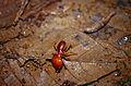 Giant Forest Termite (Syntermes grandis) (10510289393).jpg
