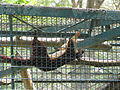 Giant Indian Squirrel at Bannerghatta National Park 4-24-2011 1-24-21 PM.JPG