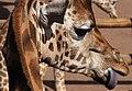 Giraffe 2 (3309837694).jpg