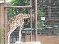 Giraffe in Zoo Negara Malaysia (15).jpg