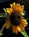 Girasol (Helianthus annuus) - Flickr - Alejandro Bayer (22).jpg