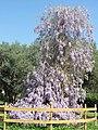 Glycine du jardin des oliviers.jpg