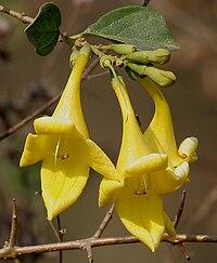 Gmelina asiatica (Kali Shivan) in Kinnarsani WS, AP W2 IMG 5820