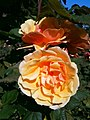 Golden Gate Park Rose Garden 6.jpg