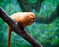 Golden Lion Tamarind (5582894411).jpg