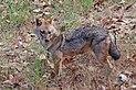 Golden jackal (Canis aureus indicus) male.jpg