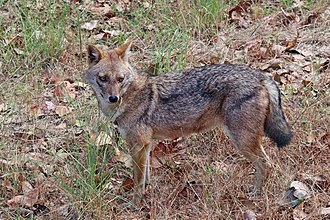 Golden jackal - Image: Golden jackal (Canis aureus indicus) male