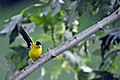 Goldfinch on Branch (4842126869).jpg