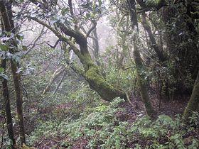 Bosque de laurisilva de Garajonay, en La Gomera